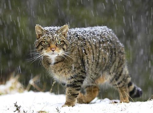 Il Gatto Selvatico Delletna Una Specie Da Tutelare Sicilia Felix